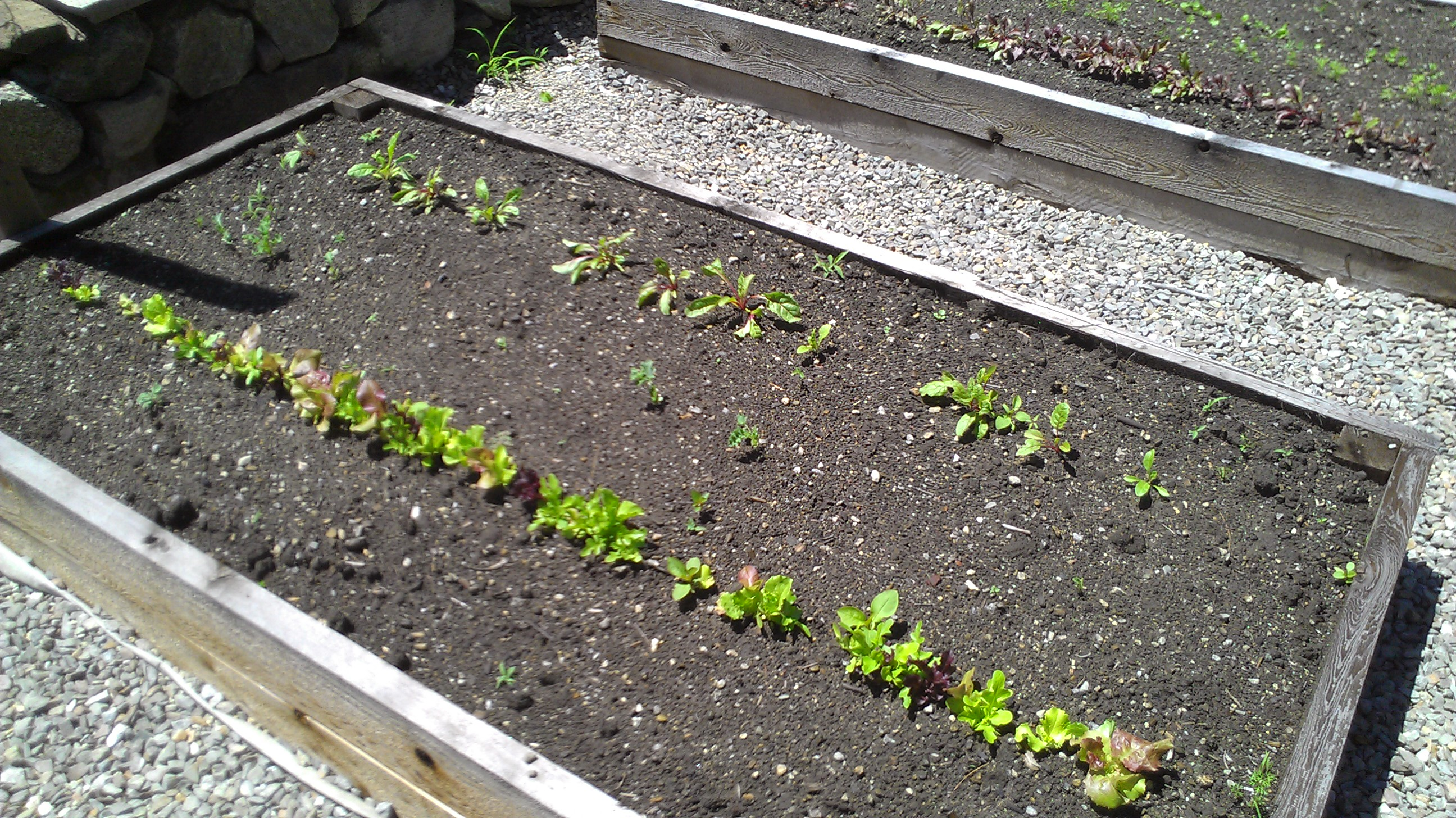 Chard, kale and lettuce