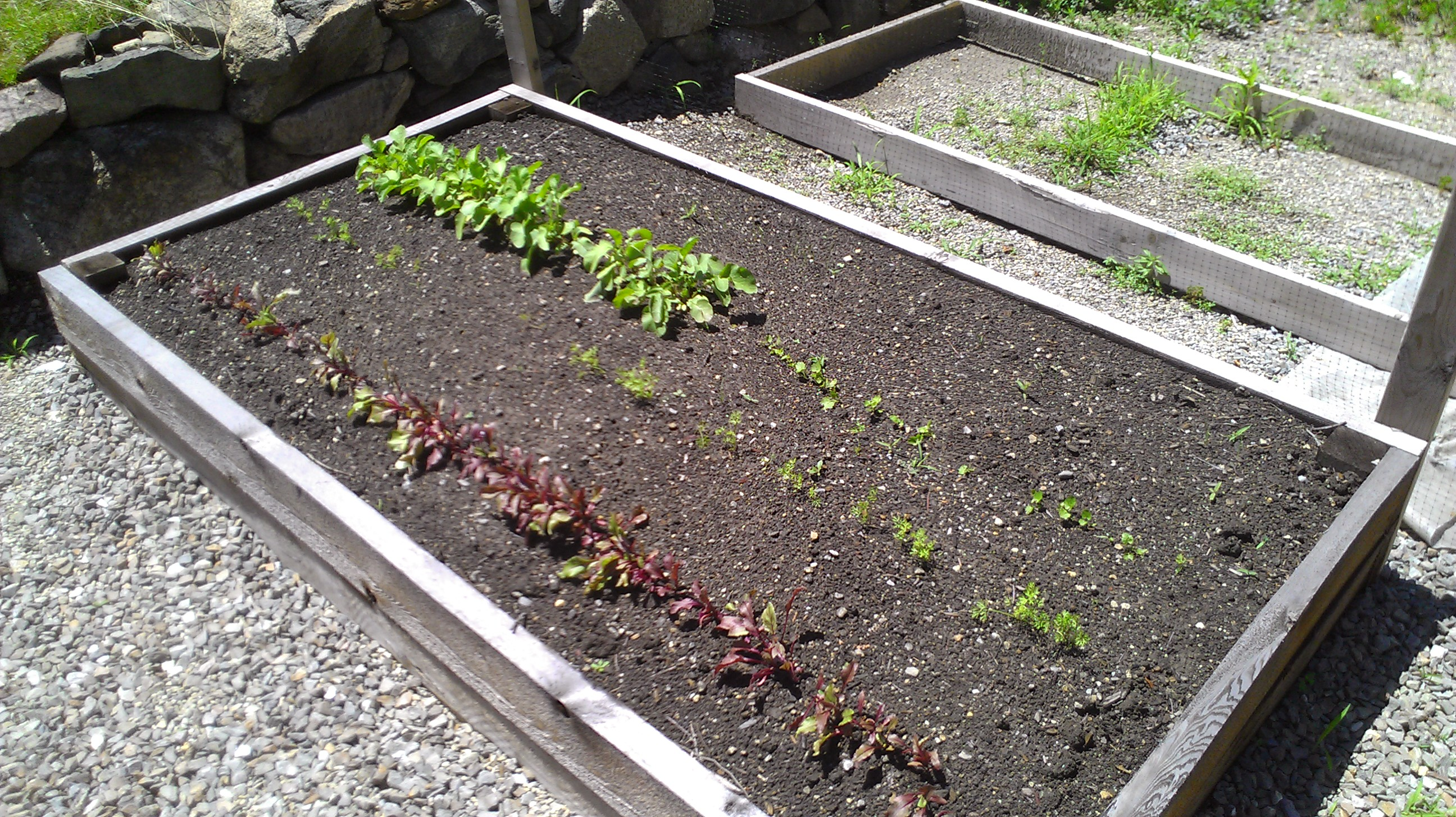 Radishes, parsnips, carrots and beets