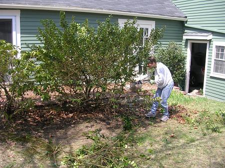 Holly bush destruction last year
